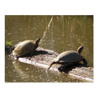 Sköldpaddor Vykort