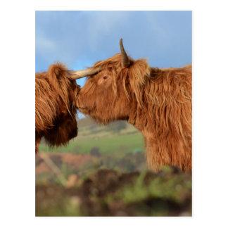 Skotskt höglands- nötkreatur vykort