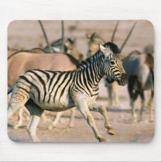 Skrämmt föl för slättsebra (EquusQuagga) Musmatta