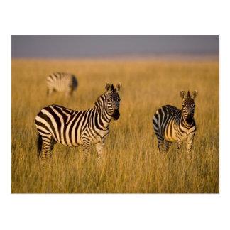 Slättsebra (Equusquagga) i gräs, Masai Mara Vykort