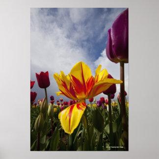 Slut upp av färgrika blommas tulpan i Oregon Poster