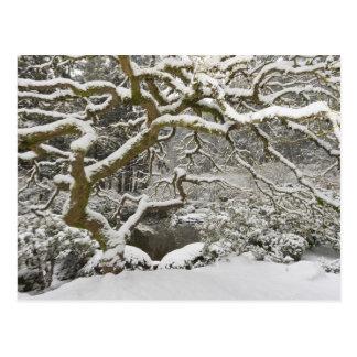 Snö-täckt japansk lönn 2 vykort