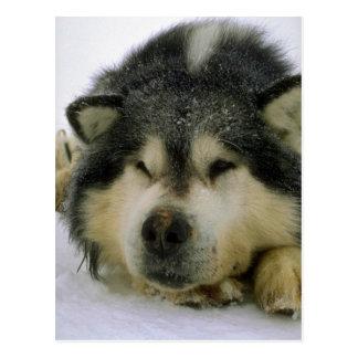 Sömnig sledhund vykort