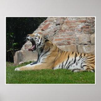Sömnig tiger poster