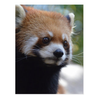 Söt röd Pandabjörn Vykort