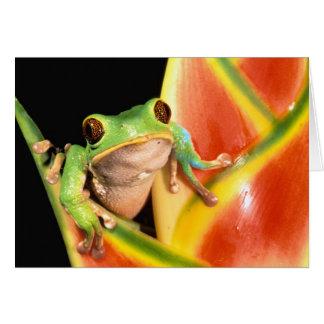 South America Ecuador, amason. Trädgroda Hälsningskort