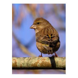 Sparrow Vykort