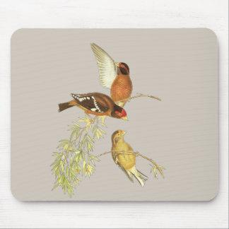 Spectacled Finch Musmatta
