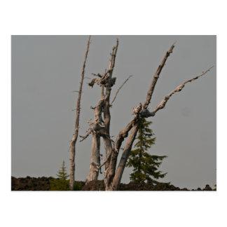 Spöketräd, McKenzie passerar, Oregon Vykort