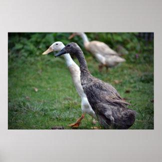 Springet duckar färger affisch