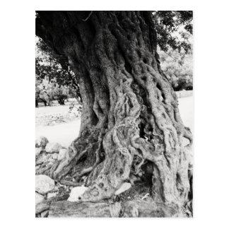 Stammen av det forntida olivgröna träd i Grekland Vykort