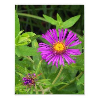 Start för New England Aster som blommar Fototryck