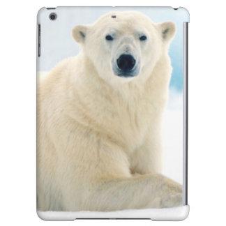 Stor galt för vuxen polar björn på sommarisen