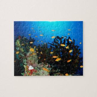 Stor grupp av simning för havsGoldie fisk Pussel