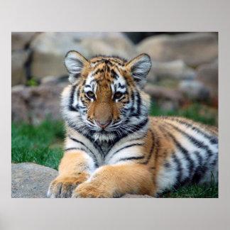 Stor tigerunge affischer