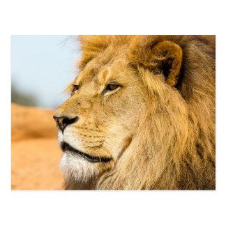 Stort lejont tittar långväga vykort