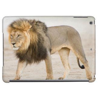 Stort svart Maned lejont (pantheraen Leo) går