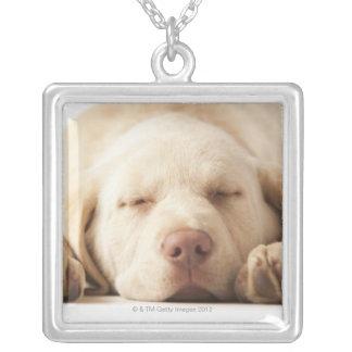 Studioporträtt av den gula Labrador retrieveren Silverpläterat Halsband