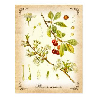Sur körsbärsröd växt - vintageillustration vykort