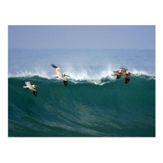 Surfa för pelikan vykort