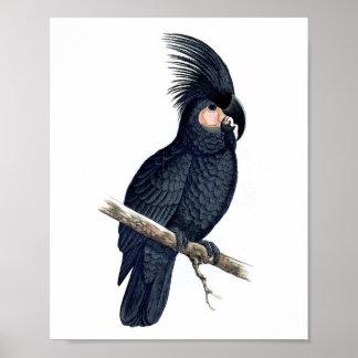 Svart fågelRepro för papegoja No.12 antikt tryck Poster