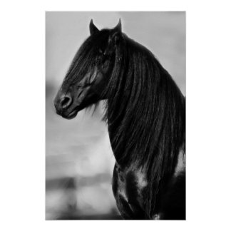 Svart hingsthäst för Friesian Poster