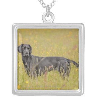 Svart labrador 16 månader 2 silverpläterat halsband