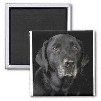 Svart Labrador Magnet