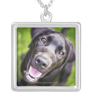 Svart labrador valp som uppåt tittar, närbild silverpläterat halsband