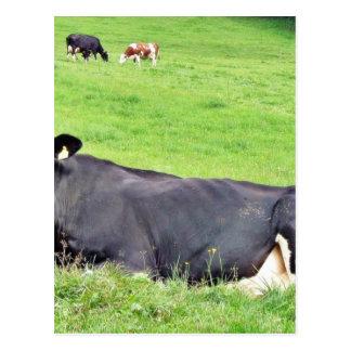 Svart österrikisk ko som lägger på det slipat vykort