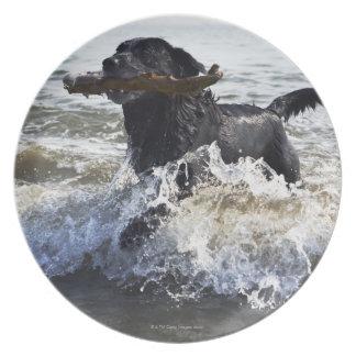 Svart spring för Labrador retriever till och med Tallrik