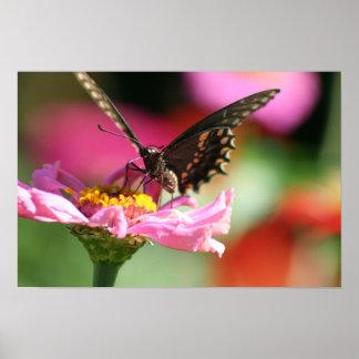 Svart Swallowtail fjäril på rosa Zinnia Poster