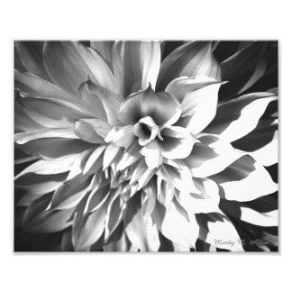 Svart- & vitChrysanthemumtryck 8 x 10 Fototryck