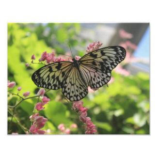 Svartvit fjäril på rosablomma fototryck