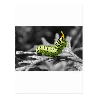 svartvit parsleycaterpillar vykort