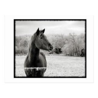 Svartvit vinterhäst vykort