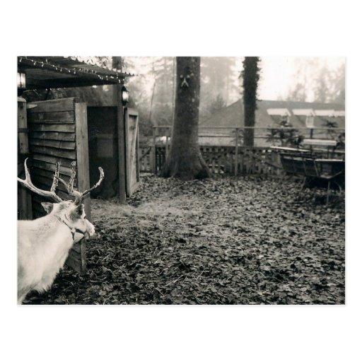 Svartvitt foto av renen och sleighen vykort