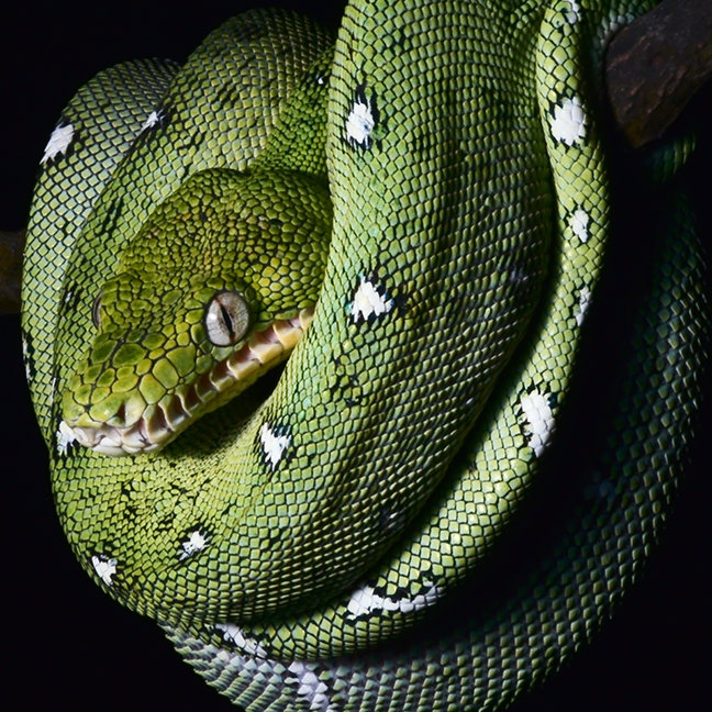 Green tree snake emerald boa in Bolivia