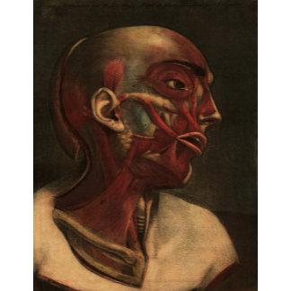 Vintage Anatomy Illustrations   Head