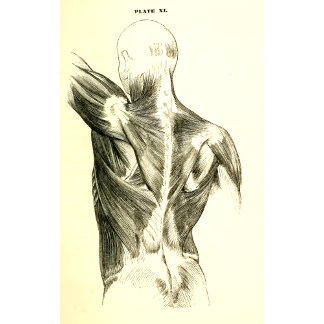 Vintage Anatomy   Back Muscles