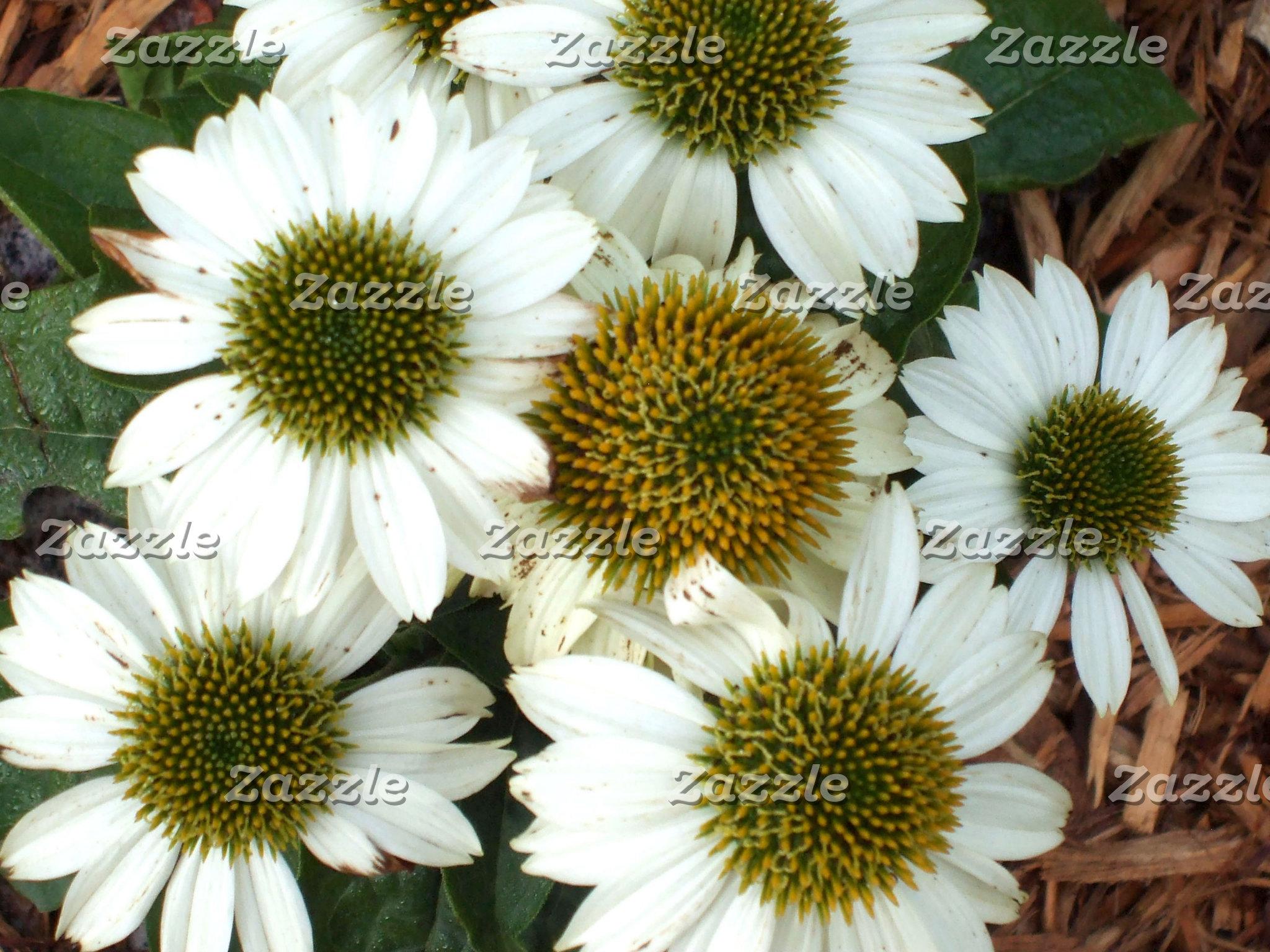 Echinacea Daisies