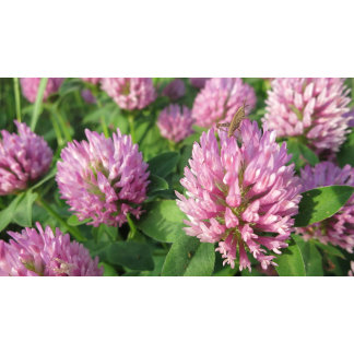 Gentle pink and green clover