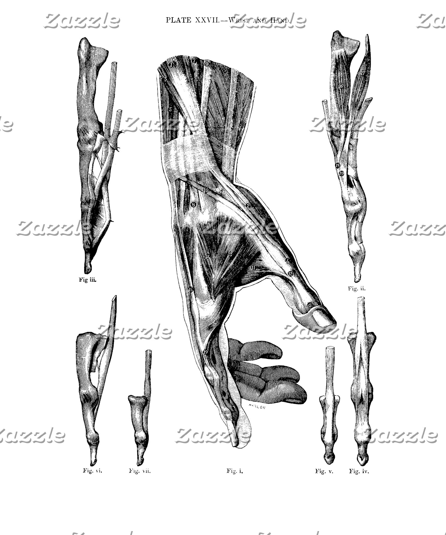 Anatomy Art Muscles of the Wrist and the Hand
