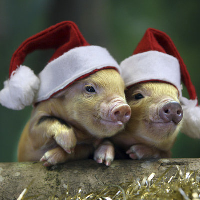 Pig santa claus - christmas pig - three pigs