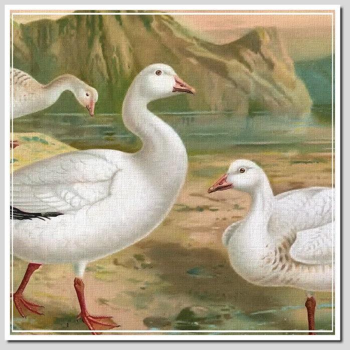 BIRDS G - J