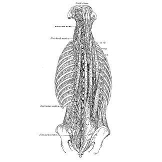 Vintage Anatomy The Back