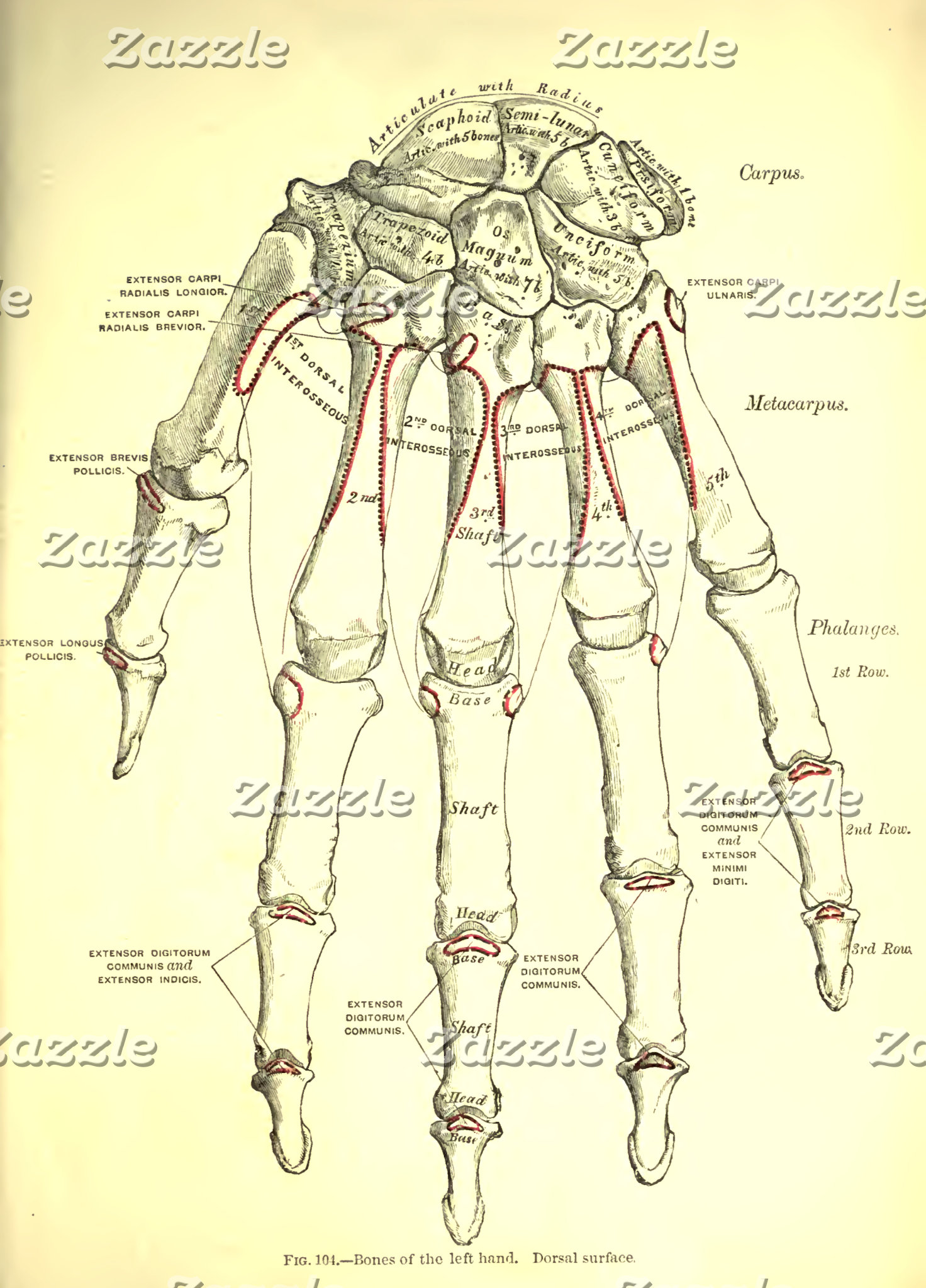 Vintage Anatomy | Bones of the Hand