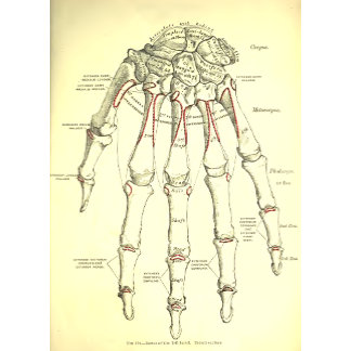 Vintage Anatomy   Bones of the Hand