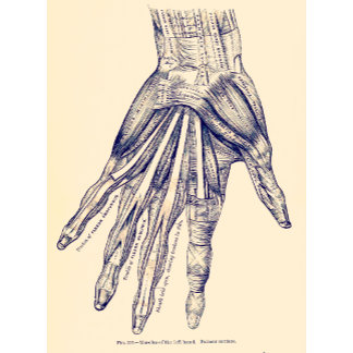 Vintage Anatomy   Hand Muscles