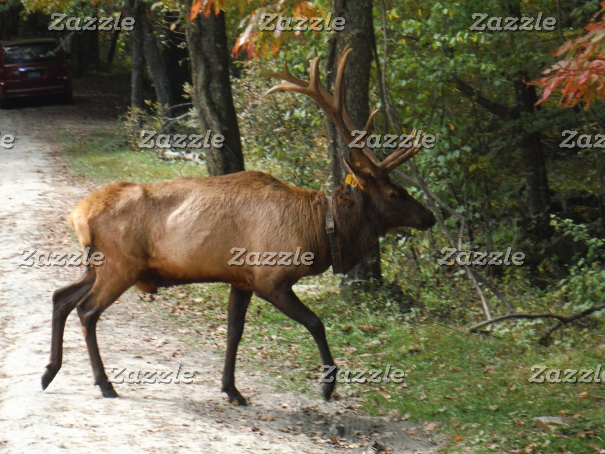 Big Bull Elk with Large Antler